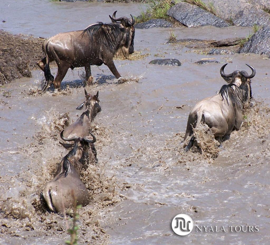 ñus corriendo río nyala