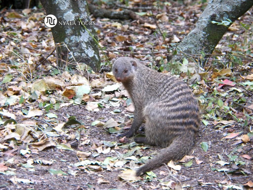 banded-mongoose-mara