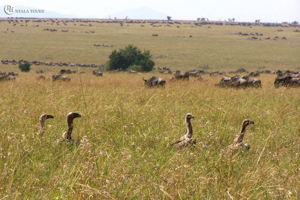 BUITRES EN MASAI MARA migration gnus