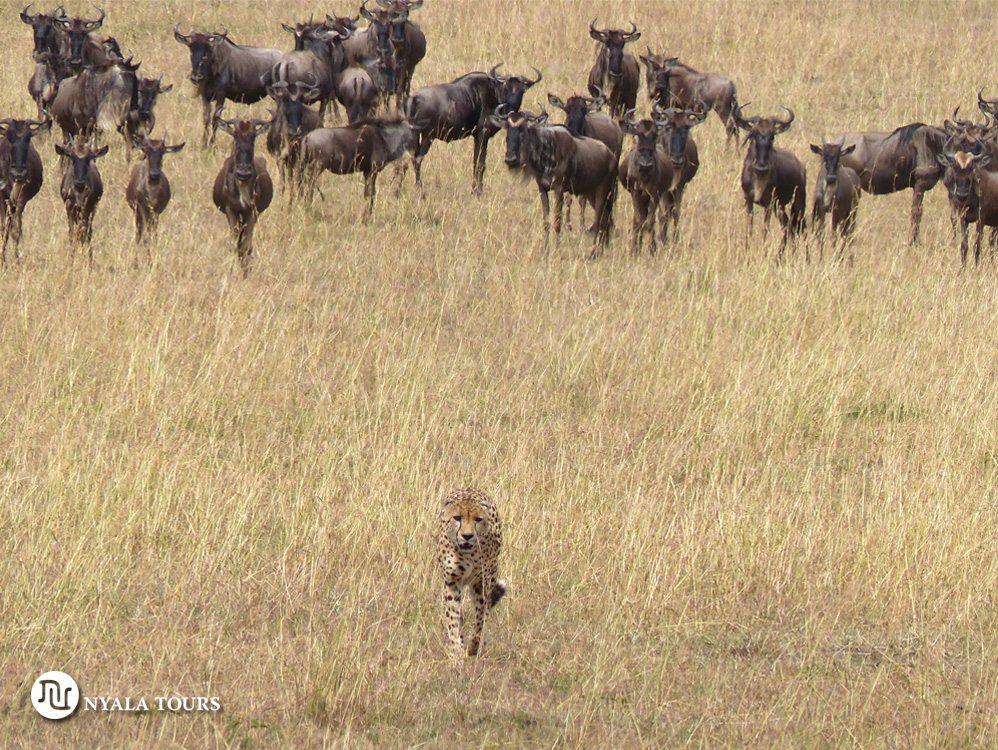 Wildebeest on alert watching the Cheetah´s movements. Ñus en alerta vigilando los movimientos del guepardo