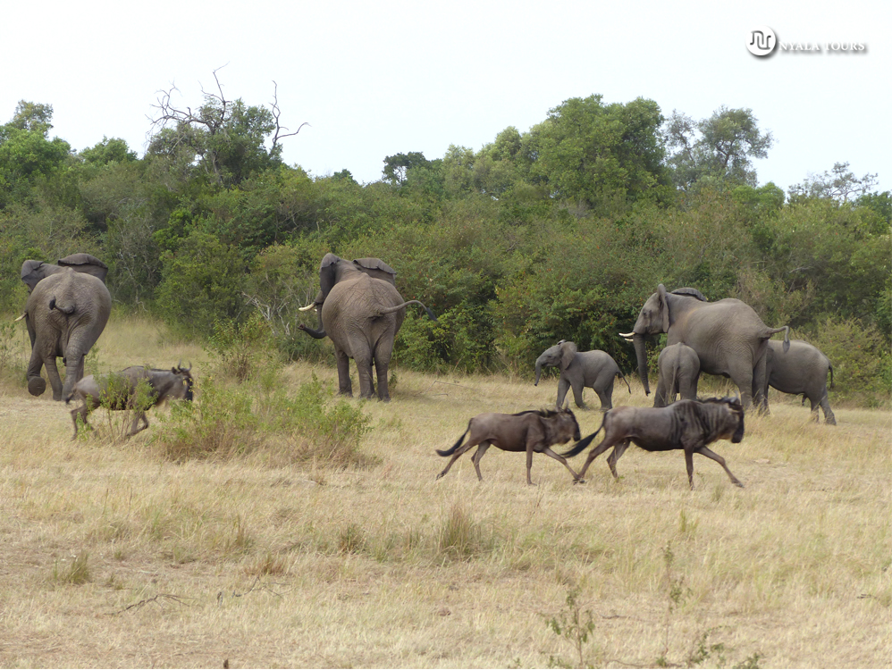 Estampida de ñus asusta a una familia de elefantes.   Wildebeest stampede scares a family of elephants