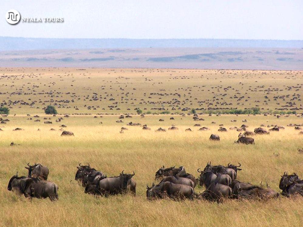 La migración de los ñus hasta el horizonte, Masai Mara.
