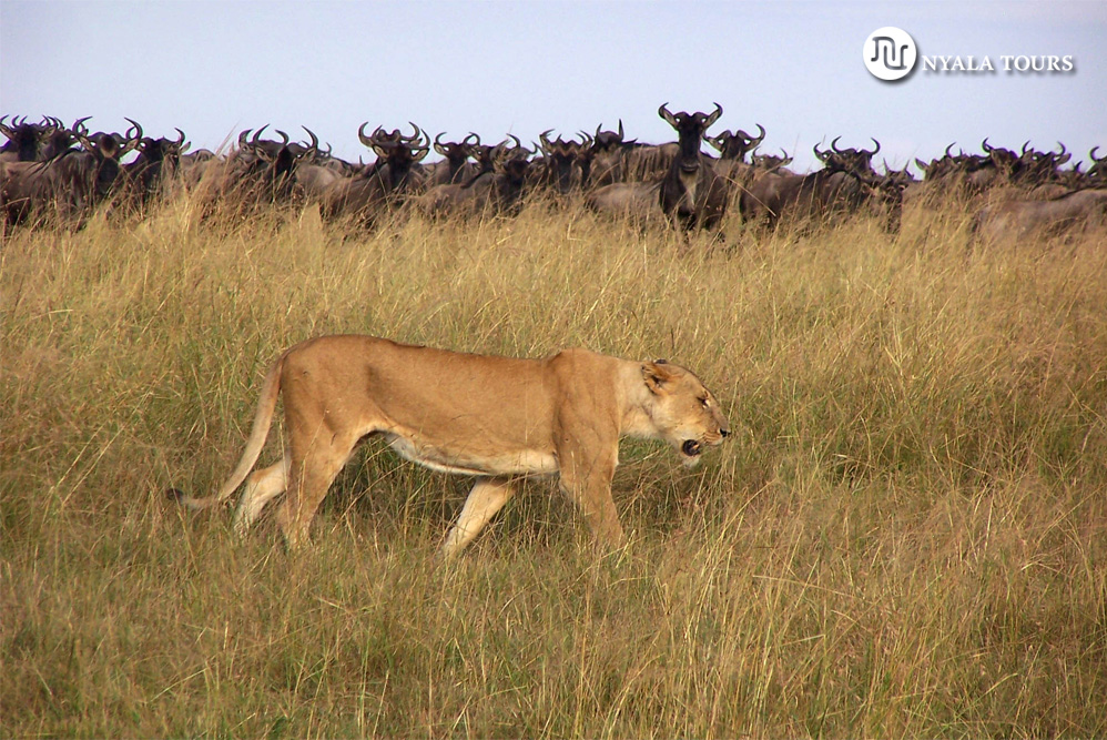 Leona andando gnu en alerta, Mara