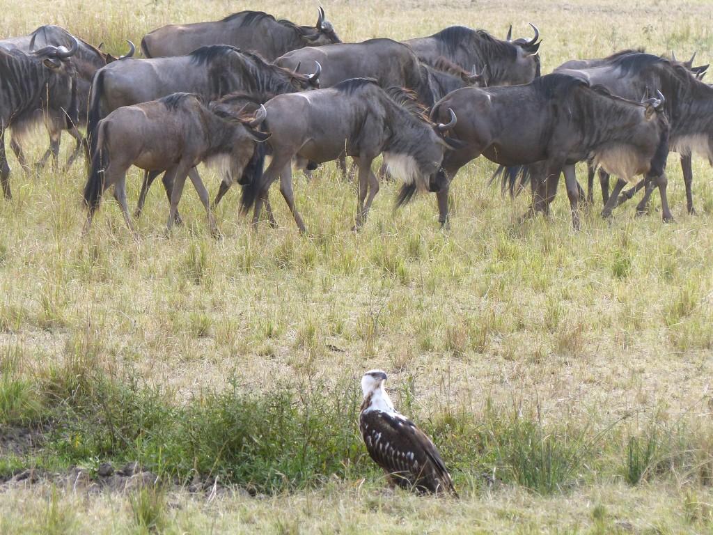 Ágila Marcial    Marshall Eagle