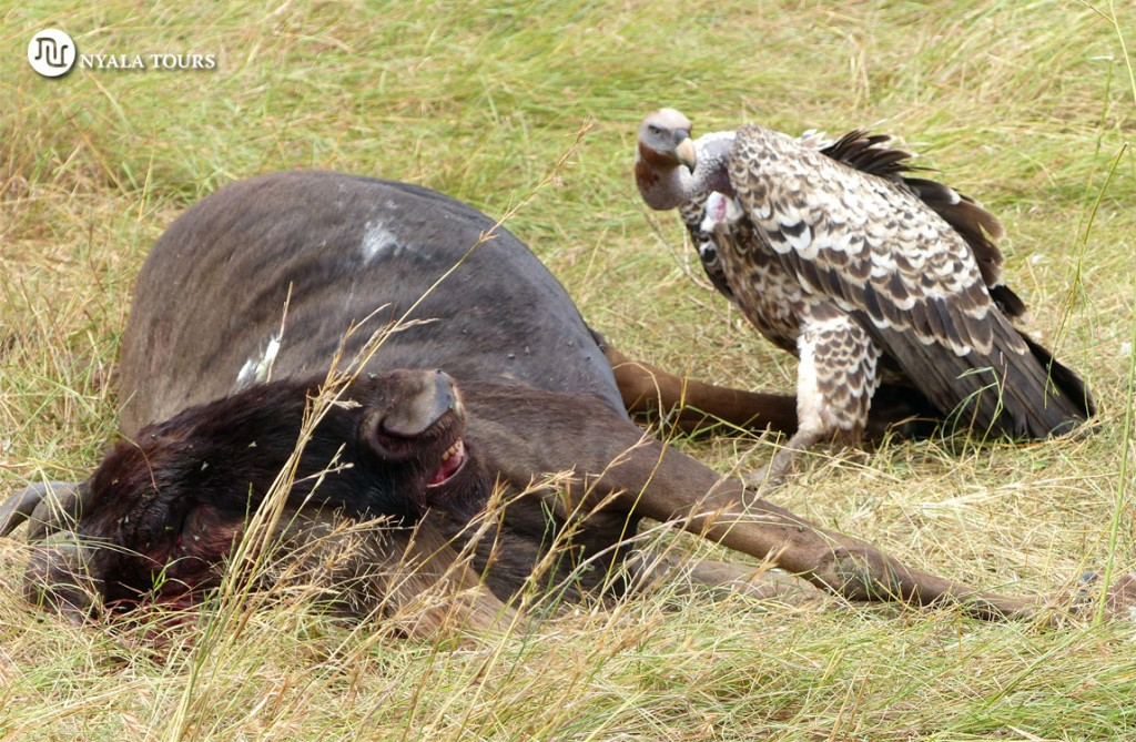 Rüppell´s Griffons Vulture and dead gnu sello
