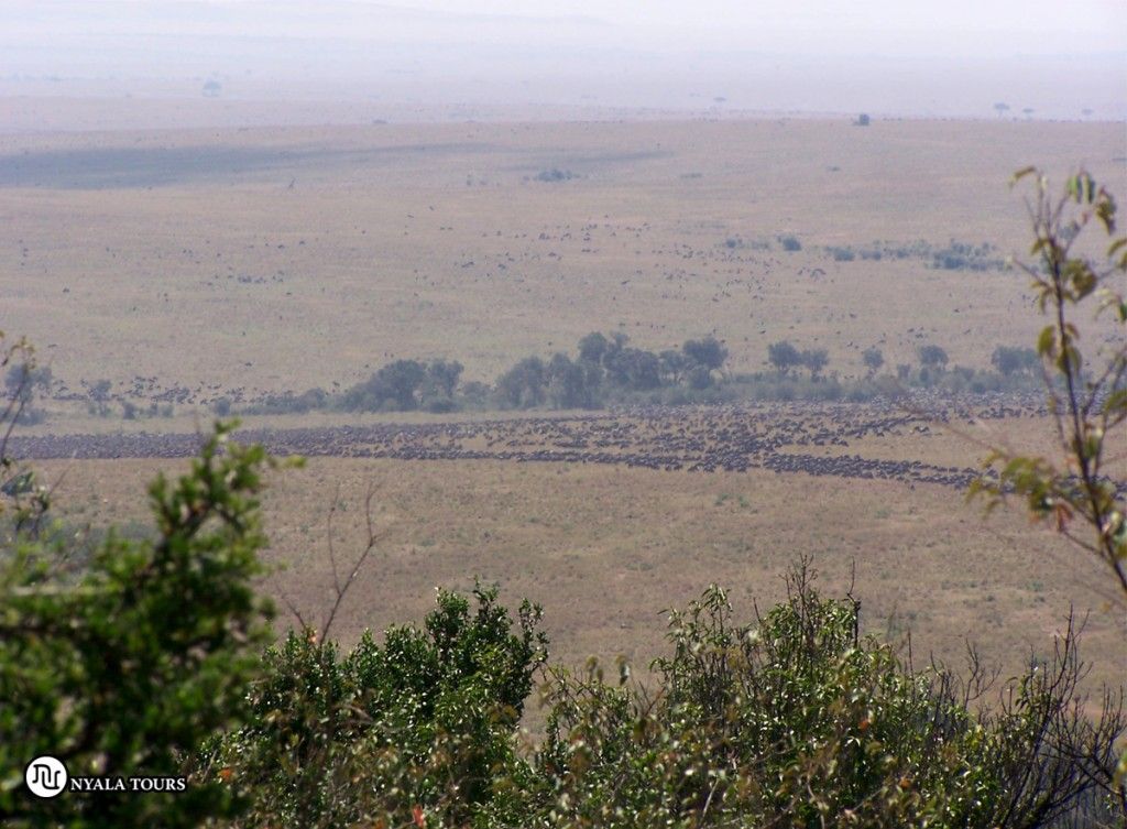 Wildebeests lining up gathering