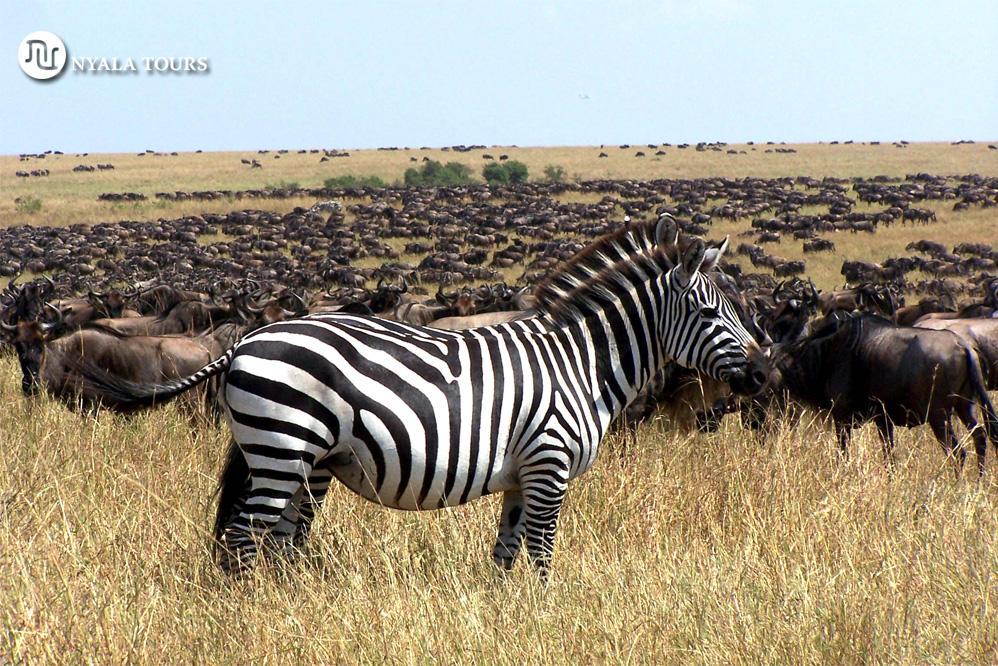 Zebras doble gnus