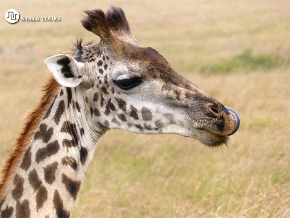 giraffe-lick-mara