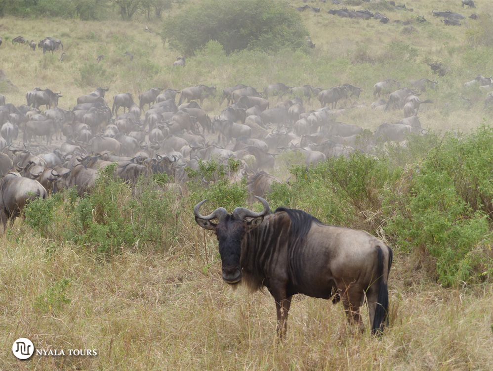 gnu-and-herd