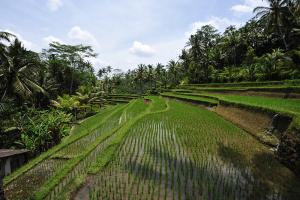 Terrazas de arroz de Bali