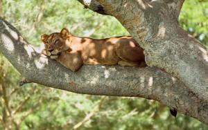 Los leones trepadores de árboles