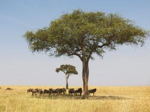 Masai Mara, animales en la sombra