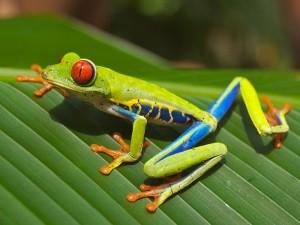 En Costa Rica hay una variedad de ranas increible