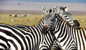 Cebras en el cráter del Ngorongoro