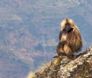 El endémico babuino Gelada