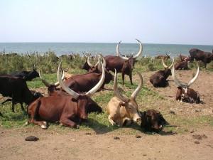 Las curiosas vacas de Uganda