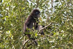 Mono de cara blanca en los manglares de la isla de Langkawi