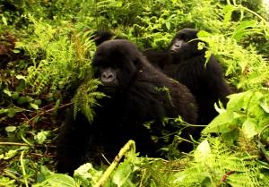 Los gorilas de montaña