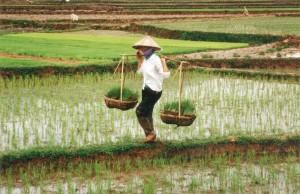 La recogida del arroz