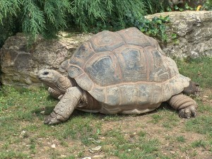La endémica tortuga de Seychelles