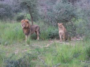 Leones en el parque Queen Elisabeth