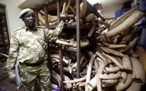 A Kenya Wildlife Services ranger shows elephant tusks intercepted from poachers (Reuters)