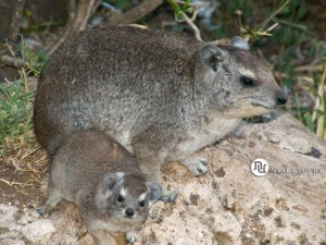 Hyrax Mom and baby