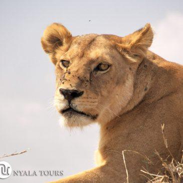 Nyala Tours Viajes no organiza viajes de caza – León Cecil Zimbabue
