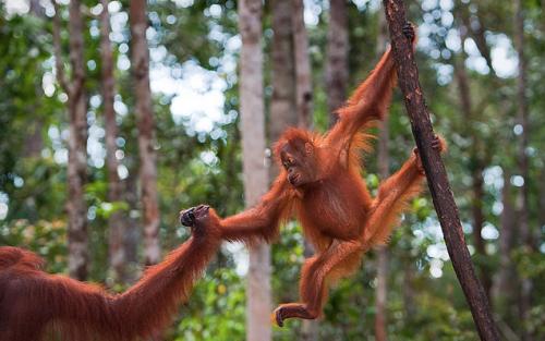 Día Mundial del orangután 2015 – World Orangutan Day 2015