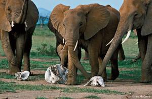 elephants-Karen-McComb-570x375.ashx