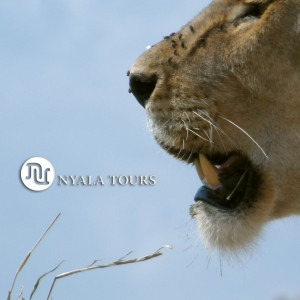 lioness head cut1