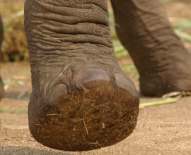 lowveld-elephant-foot-shape-front-and-back