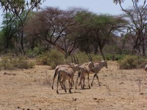 Oryx en Samburu