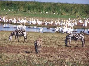 Fauna en el lago Manyara