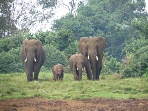 Elefantes en Aberdares