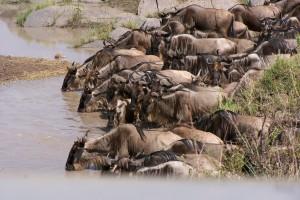 La migración anual de ñus
