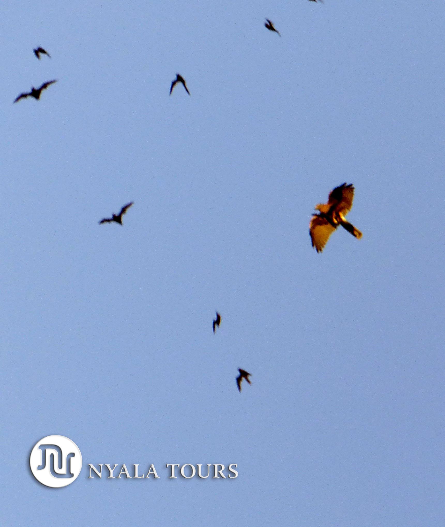 bird of prey hunting