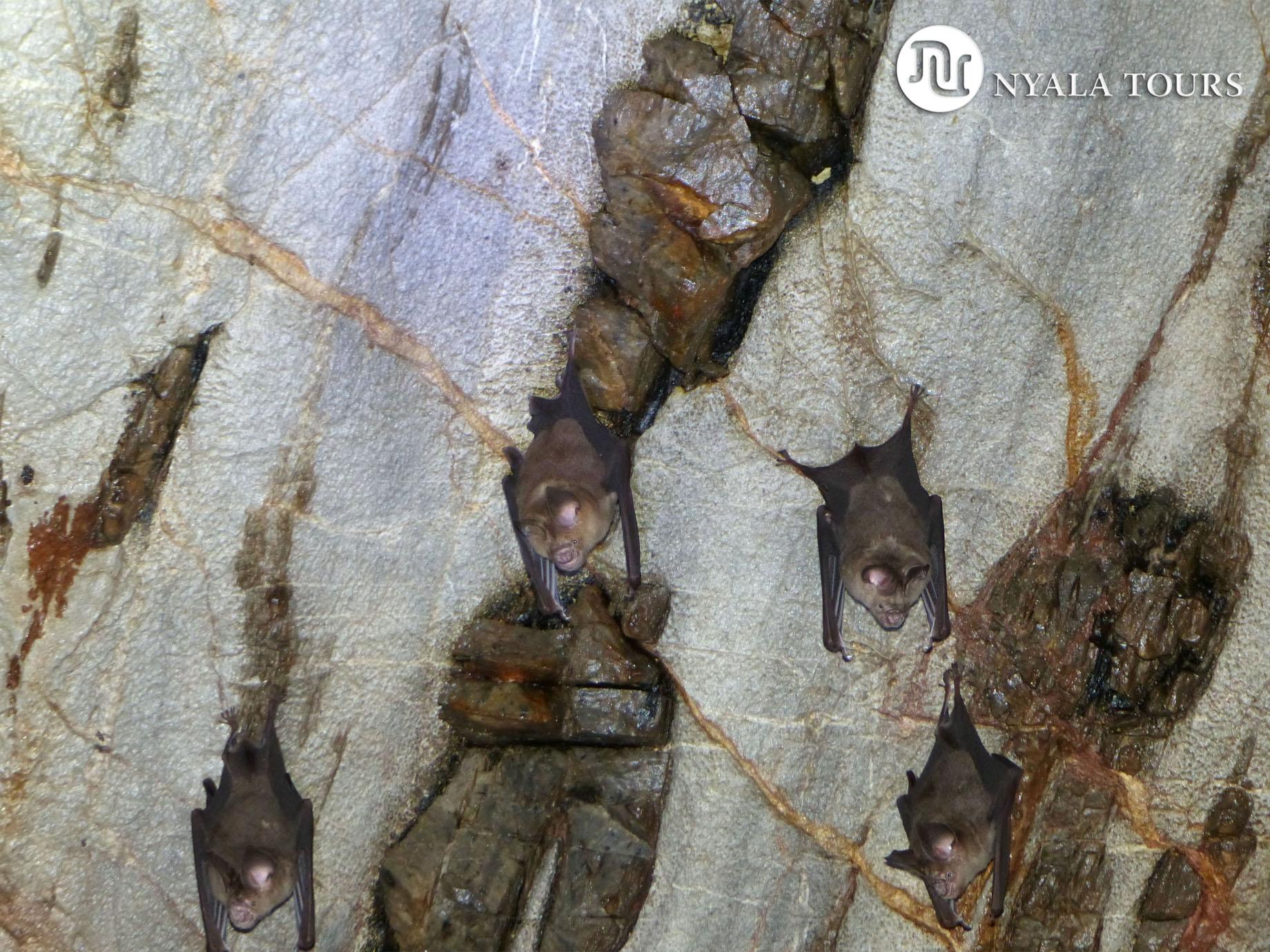 wrinkly bat small