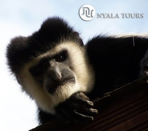 COLOBUS ON ROOF  sign1.