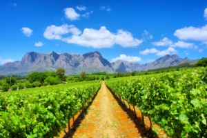 Viñedos de Sudafrica
