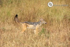 SILVER-BACKED JACKAL sign