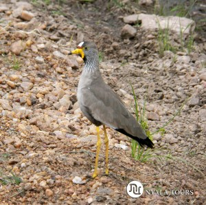 WATTLED PLOVER sign