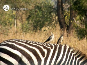 Wattled Starling on Zebra Tarangire