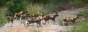 Perros salvajes en Kruger