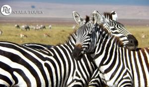 Zebras resting heads