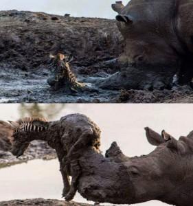 rhino saving baby zebra