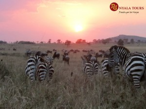 sunset zebras