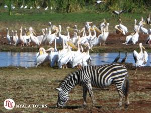 zebra and pelicans