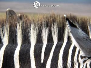 zebra crest best