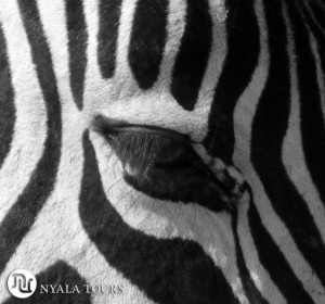zebra eye black and white